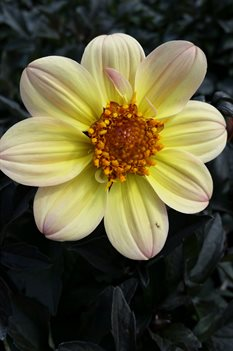 /Images/johnsonnursery/product-images/Dahlia Happy Days Lermon051016_z1iz3txta.jpg