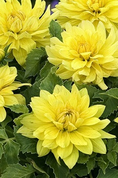 /Images/johnsonnursery/product-images/Dahlia XXL Durango_1jc9li0lh.jpg