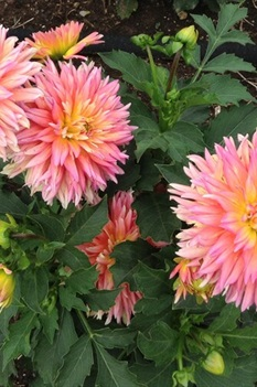 /Images/johnsonnursery/product-images/Dahlia XXL Sunset 2_23i8u35d6.jpg