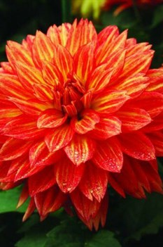 /Images/johnsonnursery/product-images/Dahlia XXL Tabasco_825t0h6pf.jpg