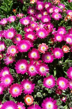/Images/johnsonnursery/product-images/Delosperma Jewel of the Desert Amethyst2042716_d36vtjdeb.jpg