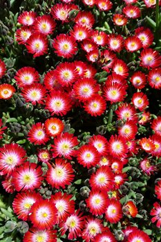 /Images/johnsonnursery/product-images/Delosperma Jewel of the Desert Grenade042716_ok6hmnhjv.jpg