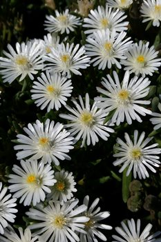 /Images/johnsonnursery/product-images/Delosperma Jewel of the Desert Moonstone041217_89it3cck4.jpg