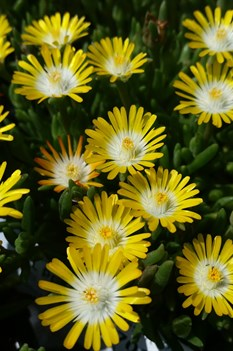 /Images/johnsonnursery/product-images/Delosperma Jewel of the Desert Peridot041317_p8t3an7nv.jpg