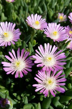 /Images/johnsonnursery/product-images/Delosperma Jewel of the Desert Rosequartz4041217_c7kjlb69z.jpg