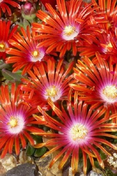 /Images/johnsonnursery/product-images/Delosperma Red Mountain Flame_e4eembp67.jpg