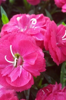 /Images/johnsonnursery/product-images/Dianthus Cadence Cherry Red_16a715fnt.jpg