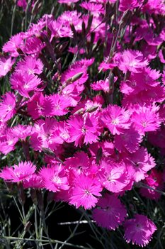/Images/johnsonnursery/product-images/Dianthus Firewitch2041316_1lhmpw2g6.jpg