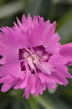 /Images/johnsonnursery/product-images/Dianthus Mountain Frost Silver Strike_ogb9lxs43.jpg