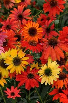 /Images/johnsonnursery/product-images/Echinacea Cheyenne Spirit_j1nrj1qes.jpg