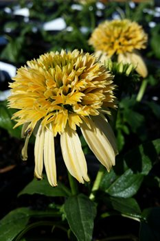 /Images/johnsonnursery/product-images/Echinacea Double Scoop Lemon Cream041117_eih9dtdr5.jpg