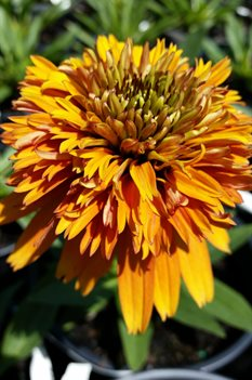 /Images/johnsonnursery/product-images/Echinacea Marmalade2041316_z5hluhc3p.jpg