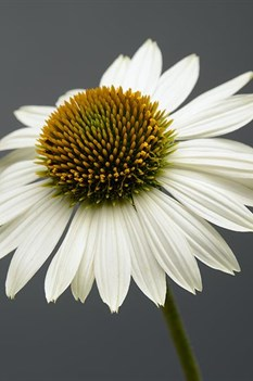 /Images/johnsonnursery/product-images/Echinacea Sombrero Blanco_9ej2799c3.jpg