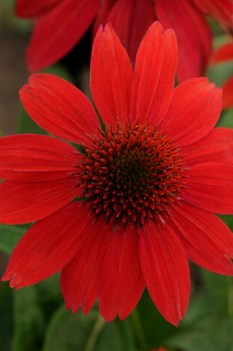 /Images/johnsonnursery/product-images/Echinacea Sombrero Salsa Red_ms3t2btmp.jpg