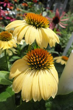 /Images/johnsonnursery/product-images/Echinacea Sombrero Sandy Yellow071413_5ob2slv3m.jpg