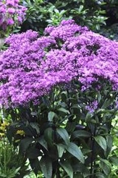 /Images/johnsonnursery/product-images/Eupatorium Baby Joe - westonnurseries_t9ccrfopz.jpg