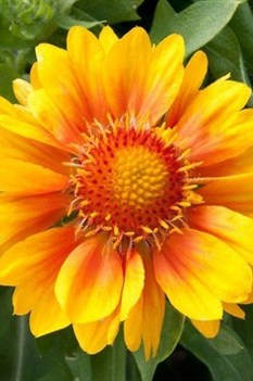 /Images/johnsonnursery/product-images/Gaillardia Mesa Peach - pinterest_bjz7p8sgl.jpg