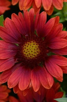 /Images/johnsonnursery/product-images/Gaillardia Mesa Red_trdbk8q9f.jpg
