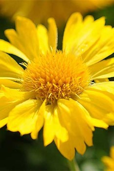 /Images/johnsonnursery/product-images/Gaillardia Mesa Yellow - fulchinovineyard_kbj9mzlae.jpg