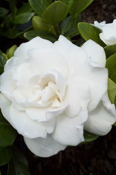 /Images/johnsonnursery/product-images/Gardenia Crown Jewel051711_hv3k6wm1f.jpg