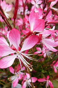 /Images/johnsonnursery/product-images/Gaura Little Janie_1kw0qjx0t.jpg