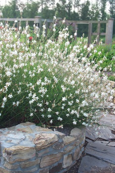 /Images/johnsonnursery/product-images/Gaura Whirling Butterflies060401_valvzvdug.jpg