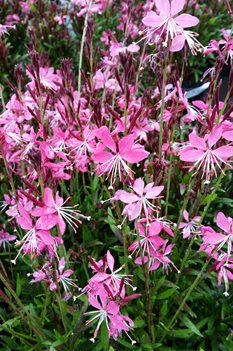 /Images/johnsonnursery/product-images/Gaura Whiskers Deep Rose041817_zlp6kjfdw.jpg