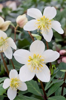 /Images/johnsonnursery/product-images/Helleborus Jacob_3b29w69mm.jpg