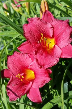 /Images/johnsonnursery/product-images/Hemerocallis Little Business4051517_jnfd5ma1f.jpg