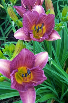 /Images/johnsonnursery/product-images/Hemerocallis Purple De'oro060701_vkauckejh.jpg
