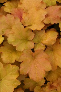 /Images/johnsonnursery/product-images/Heuchera Caramel011513_j6gzjdfmm.jpg