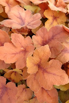 /Images/johnsonnursery/product-images/Heucherella Pumpkin Spice031618_kdtcvd022.jpg