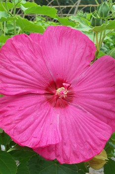 /Images/johnsonnursery/product-images/Hibiscus Luna Rose072209_n1v25j127.jpg