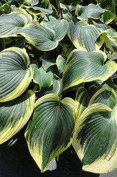 /Images/johnsonnursery/product-images/Hosta Earth Angel071413_ek10hq2kx.jpg