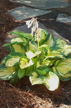 /Images/johnsonnursery/product-images/Hosta Great Expectations060607_i93xn3pu8.jpg