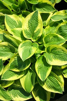 /Images/johnsonnursery/product-images/Hosta Wide Brim2042402_pa5fudqte.jpg