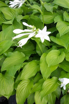 /Images/johnsonnursery/product-images/Hosta_plantaginea3090605_bcgfp1tms.jpg
