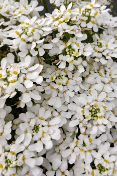 /Images/johnsonnursery/product-images/Iberis Snowsation3040418_vlhl80rfq.jpg
