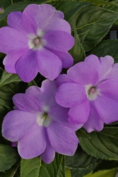 /Images/johnsonnursery/product-images/Impatiens Sunpatiens Compact Orchid_46p38fb45.jpg