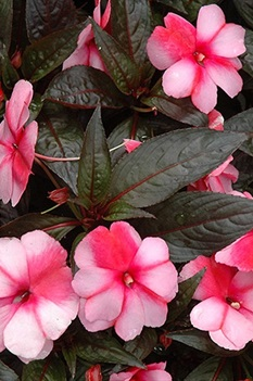 /Images/johnsonnursery/product-images/Impatiens Super Sonic Sweet Cherry - landsburgnursery_ae0wxjq5h.jpg