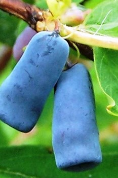 /Images/johnsonnursery/product-images/LNR Berry Blue - wikipedia_2dec387kx.jpg