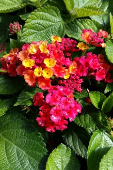 /Images/johnsonnursery/product-images/Lantana Bandana Red041416_sv8bh0ojk.jpg