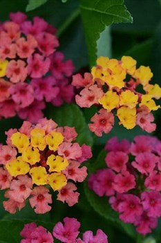 /Images/johnsonnursery/product-images/Lantana Bloomify Rose_0to323euk.jpg
