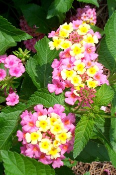/Images/johnsonnursery/product-images/Lantana Ham and Eggs3071008_3v553rg8t.jpg