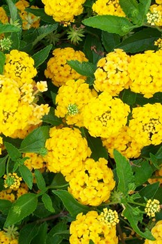 /Images/johnsonnursery/product-images/Lantana New Gold4061900_4rm3rxp47.jpg