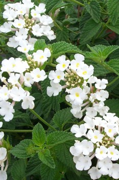 /Images/johnsonnursery/product-images/Lantana Trailing White2052200_18bvqfere.jpg