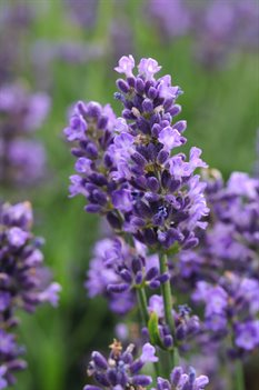 /Images/johnsonnursery/product-images/Lavandula_SuperBlue_Bloom_17291_d8ndg4iks.jpg