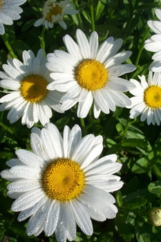 /Images/johnsonnursery/product-images/Leucanthemum Becky062701_ejcg7hcbs.jpg