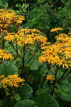 /Images/johnsonnursery/product-images/Ligularia Othello 2_85kdq4ket.jpg