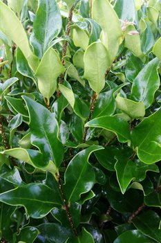 /Images/johnsonnursery/product-images/Ligustrum Recurvifolium080216_t3o1qm9ae.jpg